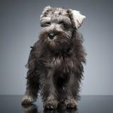 Schnauzer do cachorrinho que fica na tabela do estúdio Foto de Stock