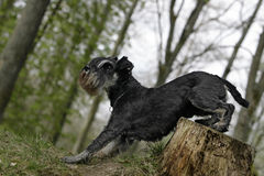 Schnauzer dog. Lateral close-up of a schnauzer dog sitting on a tree stump Royalty Free Stock Images