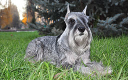 Schnauzer dog. In autumn evening dog lying on green grass Royalty Free Stock Image