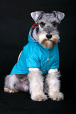 Schnauzer dog. With cloth in front of black background stock photography