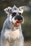 Schnauzer dog. Portrait of a schnauzer dog Stock Photo