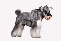 Schnauzer dog. In front of white background stock photo