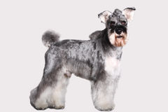 Schnauzer dog. In front of white background stock images