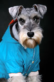 Schnauzer dog. With blue cloth in front of black background royalty free stock photography