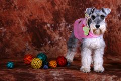Schnauzer dog. With some colorful balls royalty free stock photos