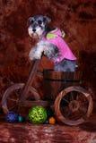 Schnauzer dog Royalty Free Stock Photography