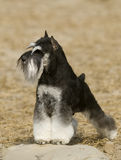 Schnauzer dog Stock Photography