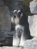 Schnauzer dog. Mini Schnauzer dog standing on stones stock photo