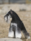 Schnauzer dog. Is looking around stock image