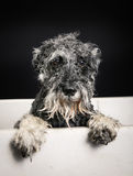 Schnauzer dog in bathtub Royalty Free Stock Photos