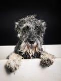 Schnauzer dog in bathtub Royalty Free Stock Photos