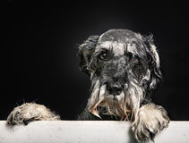 Schnauzer dog in bathtub Stock Images