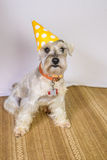 Schnauzer Dog with a Birthday Hat. Schnauzer Dog wearing a Birthday Hat for his party Stock Photo