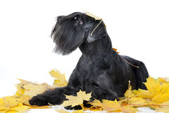 Schnauzer dog breed in the maple leaves Stock Image