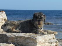 Schnauzer dog breed on a stone on a background of the sea Stock Photo