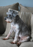 Schnauzer dog on couch royalty free stock photo