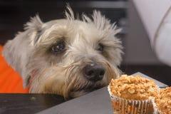 Schnauzer dog craving a muffin royalty free stock photos