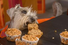 Schnauzer dog craving a muffin royalty free stock images