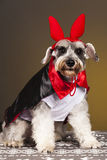 Schnauzer dog devil portrait. Schnauzer vampire dog with horns Stock Images