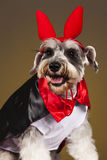 Schnauzer dog devil portrait. Schnauzer vampire dog with horns and hood Royalty Free Stock Photography