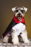 Schnauzer dog devil portrait. Schnauzer vampire dog with horns and hood Stock Image