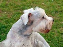 Schnauzer dog Royalty Free Stock Images