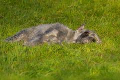 Schnauzer dog lay royalty free stock photos