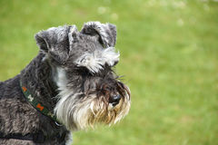 Schnauzer dog Stock Images