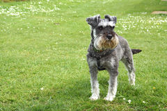 Schnauzer dog in Park Royalty Free Stock Photos