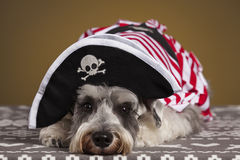Schnauzer dog pirate. Schnauzer dog with a pirate hat and white and red suit. Yellow background stock images
