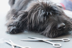 Schnauzer dog puppy lying on the grooming table. Portrait of cute Schnauzer dog puppy lying on the grooming table with scissors lying in front of him royalty free stock image