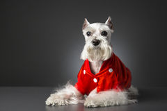 Schnauzer dog with red jacket. On gray background Stock Photography