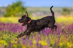 Schnauzer dog run. Schnauzer dog jump and run in salvia flowers field stock photos