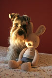 A Schnauzer dog with a toy Stock Images