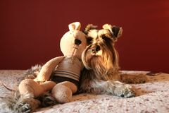A Schnauzer dog and a toy Stock Photos