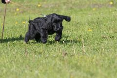 Schnauzer dog training searching for clues. Puppy of black schnauzer dog is training a searching for clues royalty free stock photos