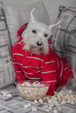 Schnauzer dog watching tv or a movie sitting on a grey sofa or couch with popcorn. Schnauzer funny dog watching tv or a movie sitting on a grey sofa or couch Stock Photo