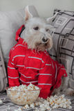 Schnauzer dog watching tv or a movie sitting on a grey sofa or couch with popcorn. Schnauzer funny dog watching tv or a movie sitting on a grey sofa or couch Stock Photography