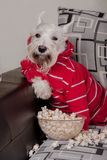 Schnauzer dog watching tv or a movie sitting on a grey sofa or couch with popcorn. Schnauzer funny dog watching tv or a movie sitting on a grey sofa or couch Royalty Free Stock Photography