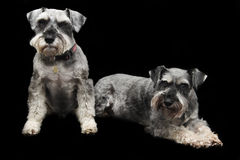 Schnauzer dogs. A pair of Schnauzer dogs isolated on black background Royalty Free Stock Photography