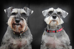 Schnauzer dogs. A pair of Schnauzer dogs on black background Royalty Free Stock Photography