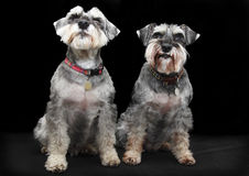Schnauzer dogs. A pair of Schnauzer dogs isolated on black background Stock Photo