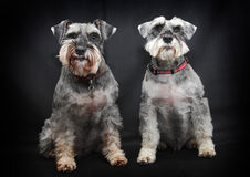 Schnauzer dogs. A pair of Schnauzer dogs sitting with black background stock image