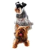 Schnauzer et chien terrier de Yorkshire. Animaux familiers photo stock