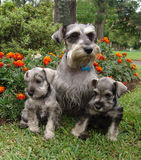 Schnauzer family 2 Royalty Free Stock Photo