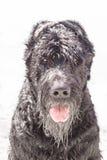 Schnauzer géant noir Photo libre de droits