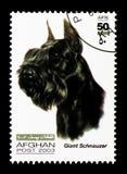 Schnauzer gigante (familiaris) di canis lupus, serie dei cani, circa 2003 Fotografia Stock