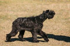 Schnauzer gigante o perro negro de Riesenschnauzer que camina al aire libre step fotografía de archivo libre de regalías
