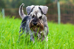 Schnauzer in the grass Stock Images
