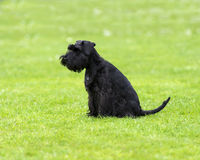 Schnauzer on the grass. Schnauzer sitting on the grass Stock Photos